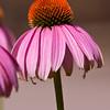 Purple Coneflower, Echinacea purpurea, at Mercer Arboretum and Botanical Gardens in Spring, Texas.