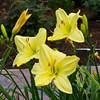 Daylily, Hemerocallis 'MY IDEAL', at Mercer Arboretum and Botantical Gardens in Spring, Texas.