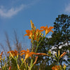 Daylily, Hemerocallis fulva 'EUROPA', at Mercer Arboretum and Botanical Gardens in Spring, TX.