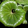 Green foliage plant, Ligularia, Farfugium japonicum 'GIGANTEA',  at Mercer Arboretum and Botanical Gardens in Spring, Texas.