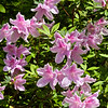 Azalea blooming in early March at Mercer Arboretum and Botanical Gardens in Spring, Texas.