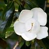 Magnolia tree blossum at Mercer Arboretum and Botanical Gardens in Spring, Texas.