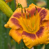 Daylily, Hemerocallis 'ROOSTER', at Mercer Arboretum and Botanical Gardens in Spring, Texas.