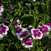 Pinks, Dianthus family, at Mercer Arboretum and Botanical Gardens in Spring, Texas.