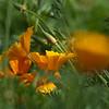 California poppy, Eschscholzia californica, at Mercer Arboretum and Botanical Gardens in Spring, Texas.