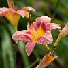 Daylily, Hemerocallis 'DECAUTER CHERRY SMASH', at Mercer Arboretum and Botanical Gardens in Spring, Texas.
