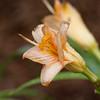 Daylily, Hemerocallis 'CHORUS LINE', at Mercer Arboretum and Botanical Gardens in Spring, Texas.