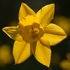 Daffodil or Jonquil TREVITHIAN, Narcissus x 'Trevithian', at Mercer Arboretum and Botanical Gardens in Spring, Texas.