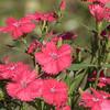 China Pink DIAMOND CORAL at Mercer Arboretum and Botanical Gardens
