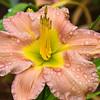 Daylily, Hemerocallis 'PINK LEMONADE', at Mercer Arboretum and Botantical Gardens in Spring, Texas.