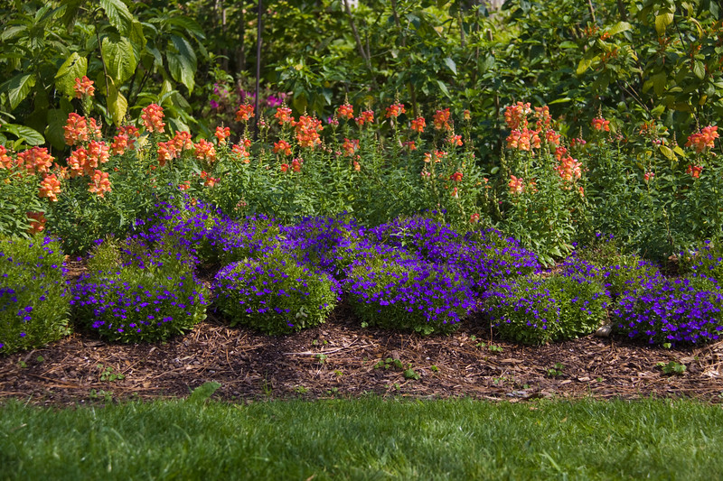 Garden Scene, with Snapdragons, California Poppies, and Edging Lobelia, at Mercer Arboretum and Botanical Gardens in Spring, Texas.