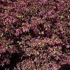 Chinese Witch Hazel, Loropetalum chinense var rubrum 'DARUMA', at Mercer Arboretum and Botanical Gardens in Spring, Texas.