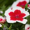China Pink - Dianthus chinensis 'Valentine' - at Mercer Arboretum in Spring, Texas.