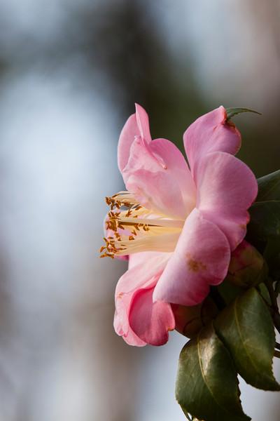 Camellia, Camellia japonica 'GRACE BUNTON',  at Mercer Arboretum and Botanical Gardens in Spring, Texas.