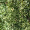 Italian Cypress tree at Mercer Arboretum and Botanical Gardens