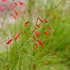 Firecracker plant, Russelia equisetiformis, at Mercer Arboretum and Botanical Gardens in Spring, Texas.