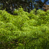 Japanese Maple in Mercer Botanical Gardens.