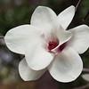 Magnolia 'JON JON', Magnolia Gresham hybrid 'JON JON', at Mercer Arboretum and Botanical Gardens in Spring, Texas.