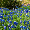 Texas Bluebonnets, Lupinus texensis, at Mercer Arboretum and Botanical Gardens in Spring, Texas.