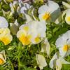 Viola COLORMAX POPCORN at Mercer Arboretum and Botanical Gardens