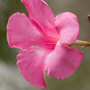 Mandevilla flower, Mandevilla x amabilis 'PINK PARFAIT', at Mercer Arboretum and Botanical Gardens in Spring, Texas.