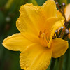 Daylily, Hemerocallis 'GALADRIEL', at Mercer Arboretum and Botanical Gardens in Spring, TX.