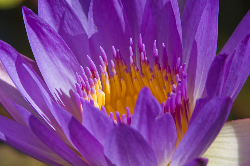 Waterlily flower,  at Mercer Arboretum and Botanical Gardens in Spring.