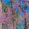 Eastern Redbud tree at Mercer Arboretum and Botanical Gardens