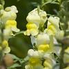 Snapdragon flowering in spring, in Mercer Arboretum, Spring, Texas.