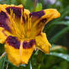 Daylily, Hemerocallis 'BLACK PEPPER', at Mercer Arboretum and Botantical Gardens in Spring, Texas.