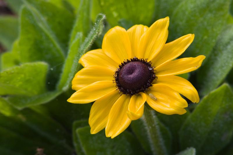 Black-eyed Susan, Rudbeckia hirta, at Mercer Arboretum and Botanical Gardens in Spring, Texas.