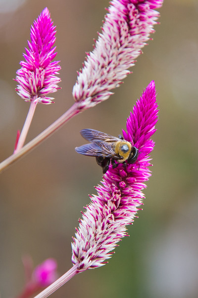 Bumble Bee on Fireweed, Celosia spicata, flowering at Mercer Arboretum and Botanical Gardens In Spring, Texas.