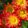 Chrysanthemums, Chrysanthemum x 'POINT PELEE', at Mercer Arboretum and Botanical Gardens in Spring, Texas.
