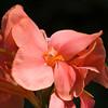 Canna flower in Mercer Arboretum and Botanical Gardens, Spring, Texas.