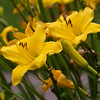 Daylily, Hemerocallis 'CUPID'S DART', at Mercer Arboretum and Botanical Gardens in Spring, TX.