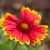 Indian Blanket (or Blanketflower)  wildflower, Gaillardia pulchella, at Mercer Arboretum and Botanical Gardens in Spring, Texas.
