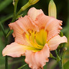 Daylily, Hemerocallis 'TREE OF LIFE', at Mercer Arboretum and Botanical Gardens in Spring, TX.