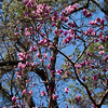 Saucer Magnolia tree, Magnolia x  Soulangiana, at Mercer Arboretum and Botanical Gardens in Spring, Texas.