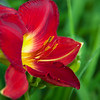 Daylily, Hemerocallis 'SCARLET ORBIT', at Mercer Arboretum and Botanical Gardens in Spring, TX.