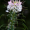 Spider Flower, Cleome spinosa, at Mercer Arboretum and Botanical Gardens in Spring, Texas.