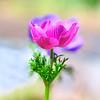 Anemone at Mercer Arboretum and Botanical Gardens