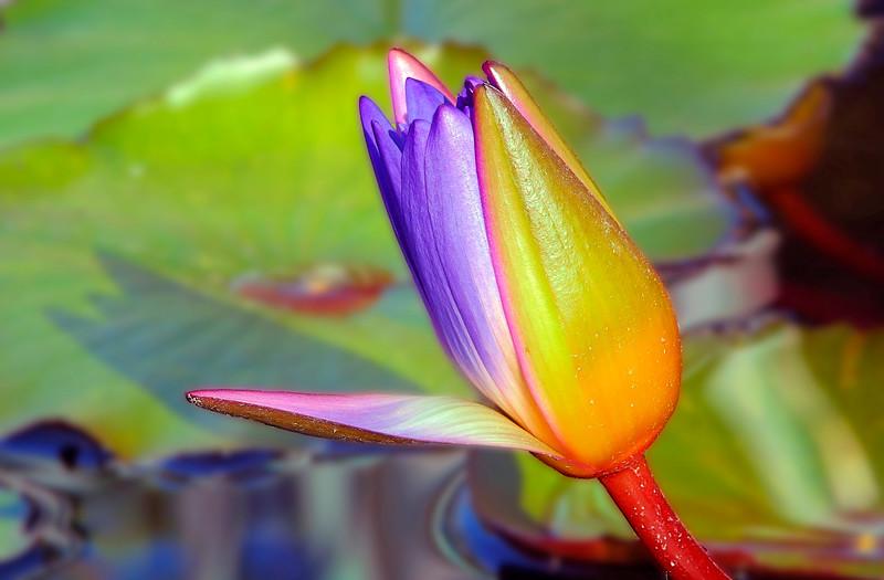 Waterlily at Mercer Arboretum and Botanical Gardens