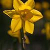 Daffodil or Jonquil TREVITHIAN, Narcissus x 'Trevithian', at Mercer Arboretum and Botanical Gardens in Spring, Texas.