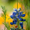 Bluebonnets and Poppies at Mercer Arboretum and Botanical Gardens in Spring, Texas.