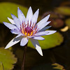 Waterlily, Nymphaea 'Margaret Mary' at Mercer Arboretum and Botanical Gardens in Spring, Texas.