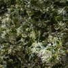 "Chinese Witch Hazel ""EMERALD SNOW"" in Mercer Botanical Gardens."
