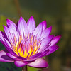 Waterlily in afternoon light at Mercer Arboretum and Botanical Gardens in Spring, Texas.