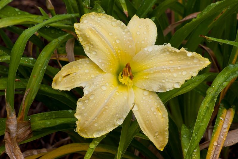 Daylily, Hemerocallis 'HALTER TOP', at Mercer Arboretum and Botantical Gardens in Spring, Texas.
