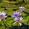 Waterlily at Mercer Arboretum and Botanical Gardens in Spring, Texas.