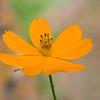 Cosmos flower at Mercer Arboretum and Botanical Gardens in Spring.